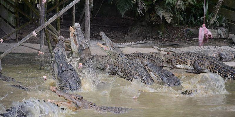 jong crocodile farm tour